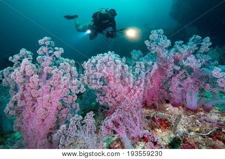 Scuba diving and camera in hand with Colorful soft corals pink color (Dendronephthya sp.) at Andaman sea Thailand