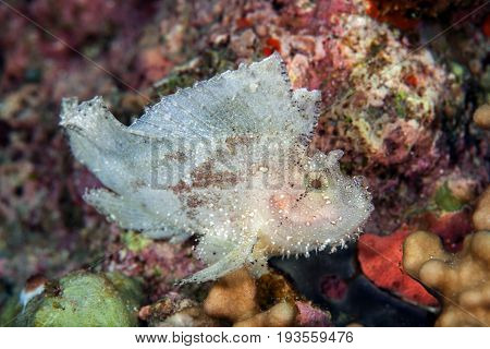 Face of The leaf scorpionfish or paperfish(Taenianotus triacanthus) is white color in rock backgroundLayang layang Malaysia