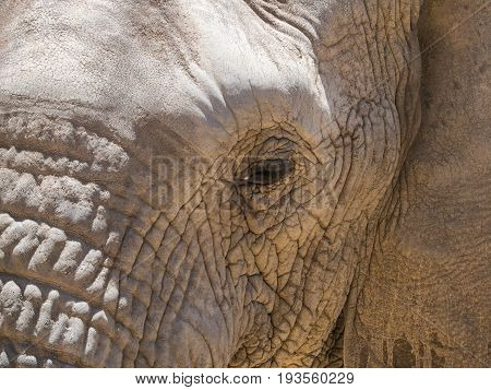 Endangered African Elephant Walking In A Protected Nature Reserve In South Africa
