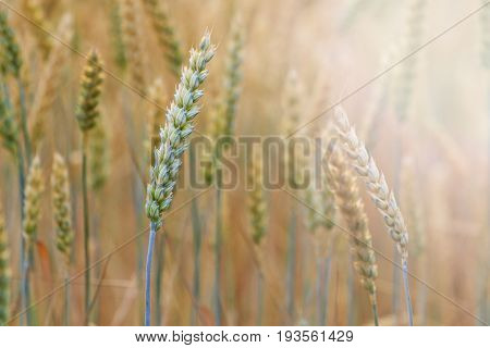 New crop of grain, wheat sprouts with sunny hotspot, Agrarian works