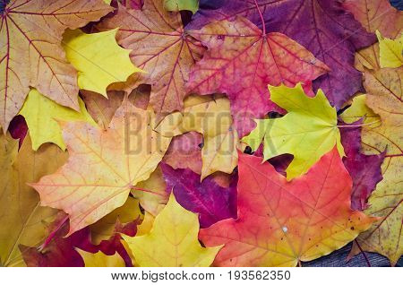 Autumn background texture with colorful fall maple leaves. Thanksgiving autumn holidays background concept. Texture with autumn leaves. Copy space. Top view.