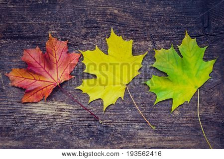 Autumn leaf life cycle. Autumn background with colorful fall maple leaves on rustic wooden table. Life cycle of fall leaf. Thanksgiving holidays concept. Green yellow and red autumn leaves. Top view.