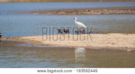 Spoonbill Egrets At A Waterhole In A Nature Reserve In South Africa