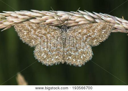 Lewes Moth (scopula Immorata)