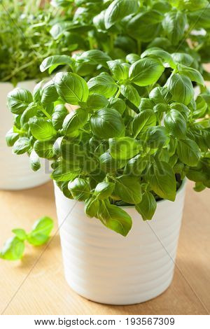 fresh basil and thyme herb in pot