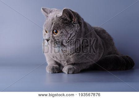 Very Beautiful Pensive British Cat Lies On Purple Background .