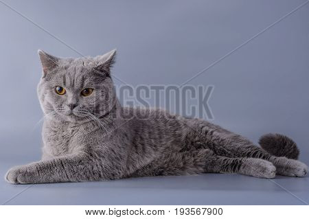 Satisfied Grey British Short Hair Cat Lying Down Looking Away Isolated On A Purple Background