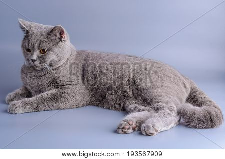 Pretty Grey British Short Hair Cat Lying Down Isolated On A Purple Background