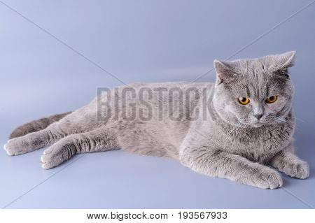 Melancholy Grey British Short Hair Cat Lying Down Looking Away Isolated On A Purple Background