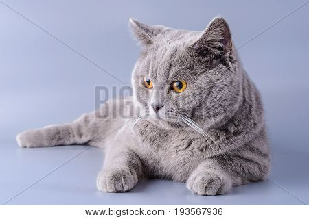 Tired Gray British Cat Lies On A Violet Background