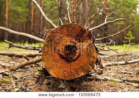 Russia, Siberia. The Log From The Sawn Wood In The Forest.