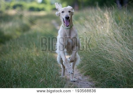 Kyrgyzian Sight hound is a member of the family of Eastern Sighthounds. The Taigan is a very rare dog breed reported about few hundred worldwide. Selective focus on the dog