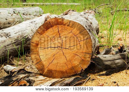 Russia, Siberia. The Log From The Sawn Wood And Sawdust In The Forest.