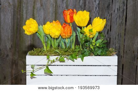Tulips In A White Wooden Box.