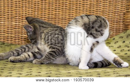 Two Young Cats Cleaning Itselves.