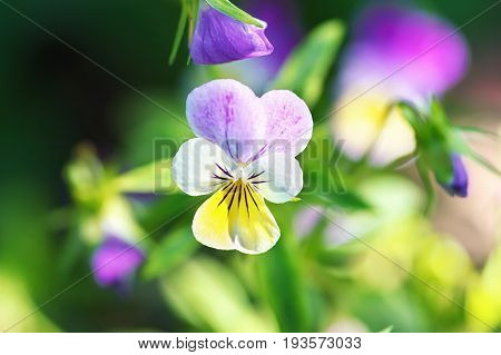 Violet pansy flower close-up of viola tricolor in the spring garden
