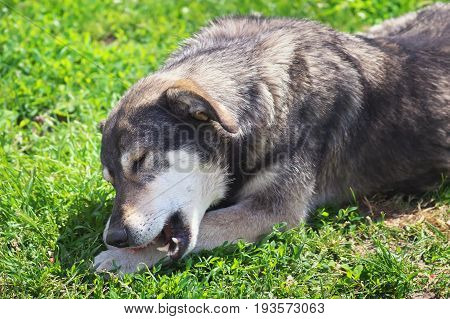 Stray gray dog eating bone. Dog and bone