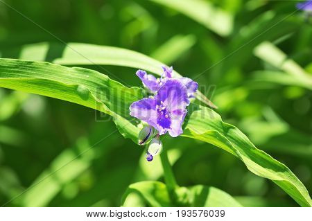 Tradescantia Andersoniana flower (Zwanenburg Blue). Commelinaceae family