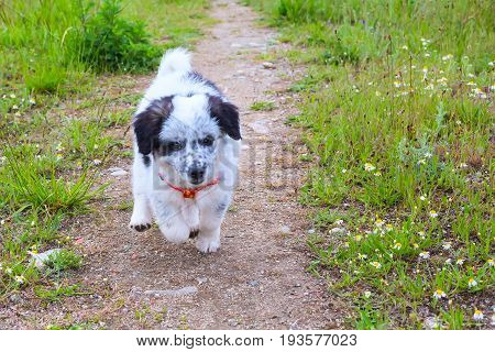 Cute white and black bulgarian shepherd dog puppy running
