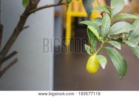 Mini garden plant with orange fruit