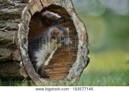 Beautiful cute beech marten, forest animal, Martes foina, Stone marten, detail portrait. Small predator with the tree trunk near forest. Czech republic, europe.