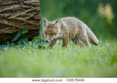 Red Fox, Vulpes vulpes, at european forest. Wildlife scene from Czech Republic. Orange fur coat animal in the nature habitat. Action scene with red fox. Beautiful fox.