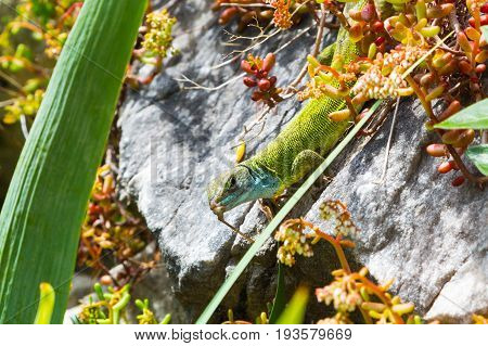 Lacerta viridis, Lacerta bilineata, green lizard with blue head