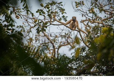 hoolock gibbon high on a tree/wild indian monkey in the indian forest/gibbon wildlife sanctuary in India