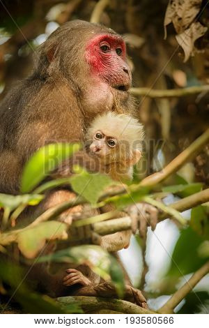 Stump-tailed macaque with a red face in green jungle/wild monkey in the beautiful indian jungle/gibbon wildlife sanctuary in India