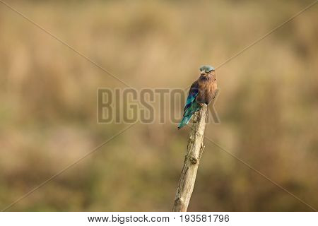 Indian roller sitting on a tree with the nice soft background, Indian roller with the nice soft background, Kaziranga National Park in indian Assam.