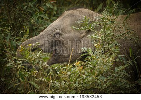 Nice indian elephant in Kaziranga / Nice indian baby elephant in Kaziranga / Nice indian baby elephant in Kaziranga in India