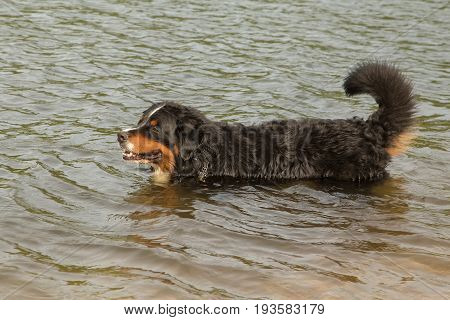 bernese mountain dog walking in the water