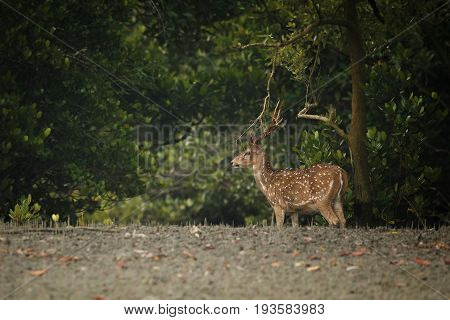 Beautiful axis deer from Sundarbans tiger reserve in India/Beautiful axis deer/Sundarbans tiger reserve in India