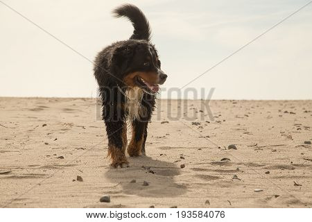 bernese mountain dog walking on sand in desert