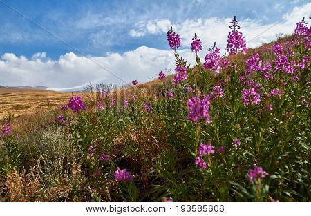 Beautiful flowers in the field. Sunset in the steppe a beautiful evening sky with clouds plato Ukok no one around Altai Siberia Russia