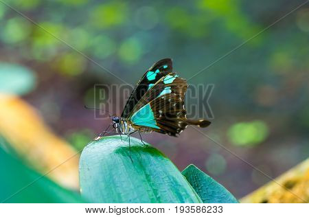 Butterfly cute insect with blue and brown colored wings sitting on green leaf on natural background. Wildlife