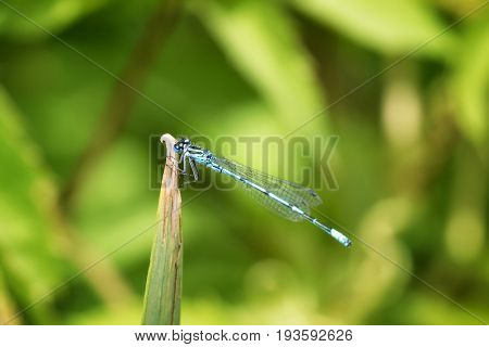 The common damselfly resting on the tip of a pond reed. This damselfly is very common to the British Isles throughout spring and summer.