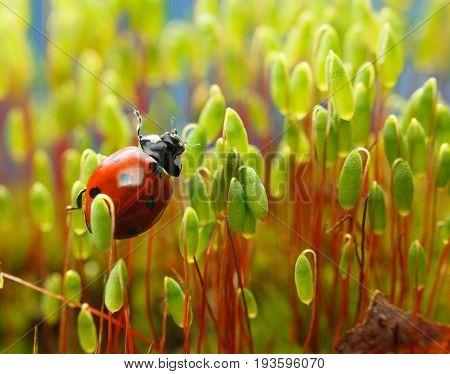 Ladybird In Moss Brushwood