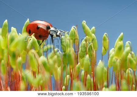 Ladybird Walking On Moss Top