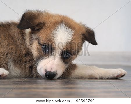 A little puppy 2 months old crossbreed. The dog is lying on the floor. The animal's face close-up