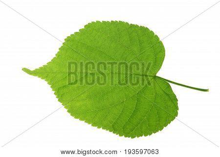 Linden leaf isolated against white background (Tilia)