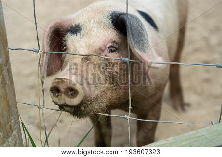 Cute little pig looking from behind a fence