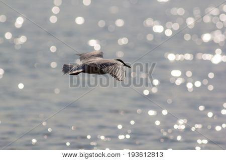 Long haul. Ocean bird migrating. Black-headed gull (Chroicocephalus ridibundus) over sparkling sea water.