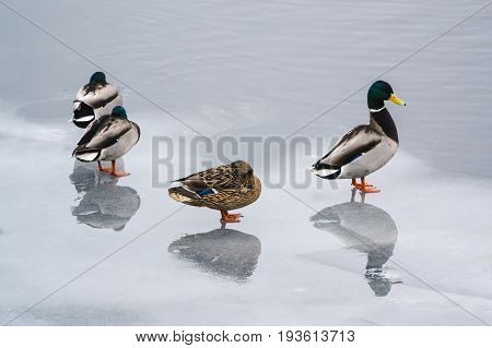 Group Ducks On The Ice In The River In Winter