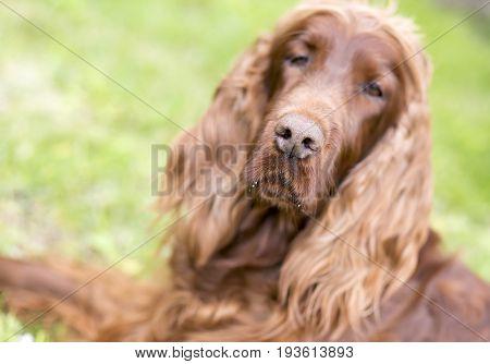 Nose of a beautiful Irish Setter dog