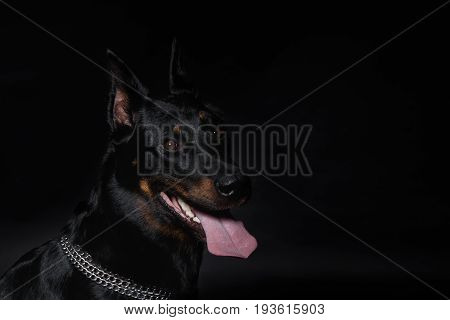 French Shepherd Dog Head With Tongue Hanging Out