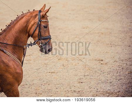Dressage red horse portrait during dressage competition. Advanced dressage test. Copy space for your text.