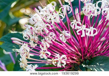Quezonla flower - sicentific name is