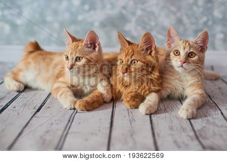 A photo of funny red american bobtail cats three monthes old on blured background