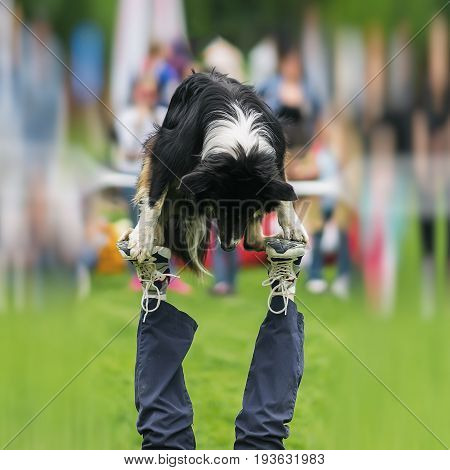 Dexterous performance of capable dog with his owner on dog playground. Almost a circus acrobatic stunt. Concept of friendship between man and dog. Happiness in motion. Dog sports training, funny show